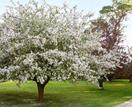 Crabapple trees: expert growing and care tips