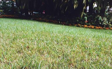 Kikuyu yellows disease: how to treat and protect your lawn