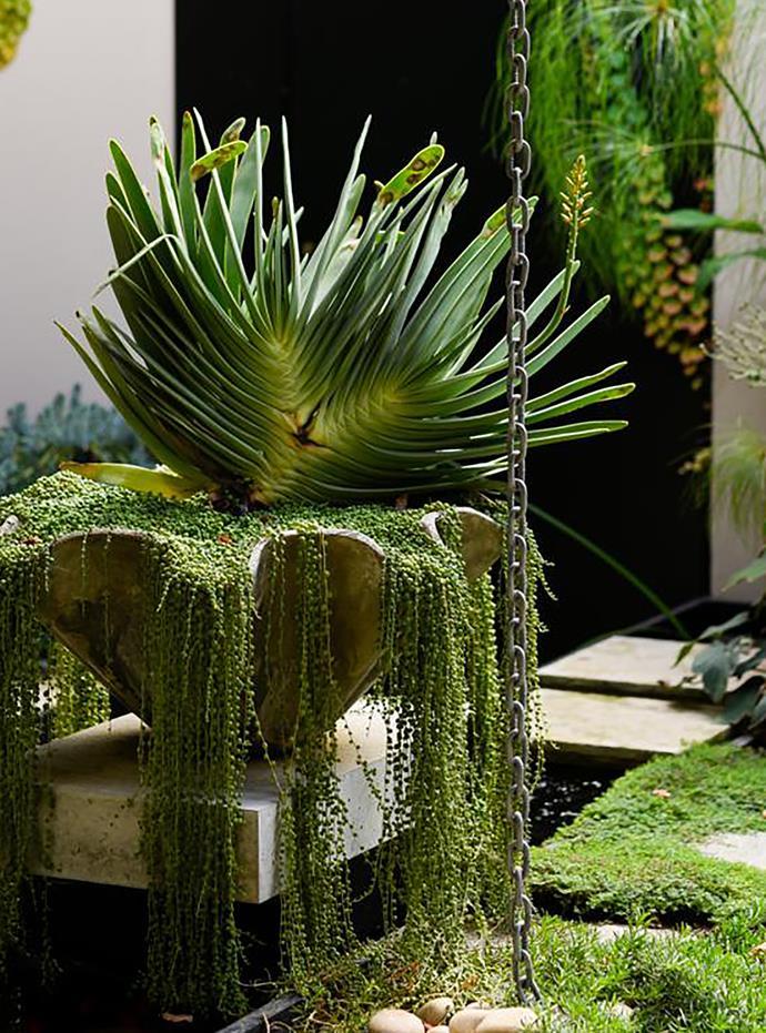 A fan aloe (*Aloe plicatilis*) and cascading string of pearls (*Senecio rowleyanus*) in a pot next to the pond.