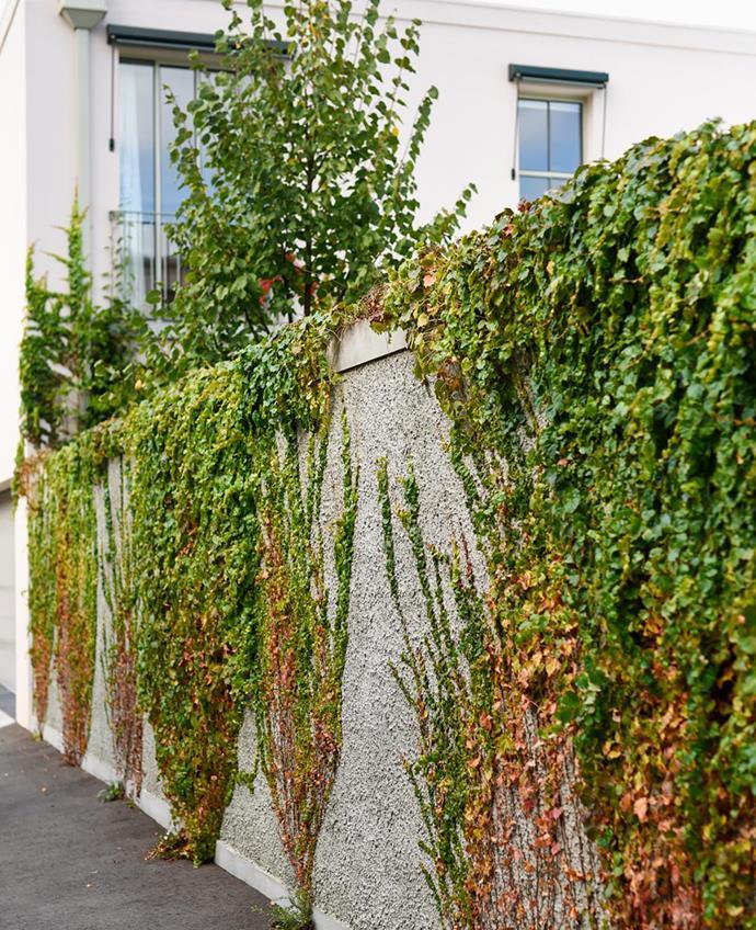 The boundary wall draped in Boston ivy.
