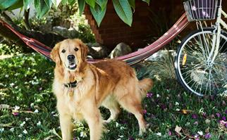 golden-retriever-garden