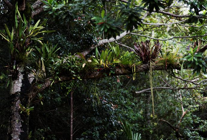 Tree limbs have been adorned with native orchids, bromeliads and rock lilies.