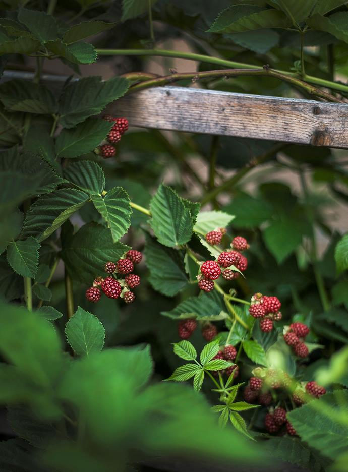 Plant raspberries in autumn or winter in rows facing north to south, as this ensures the plants receive even sunlight.