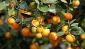 Growing cumquats