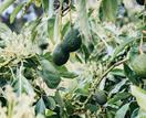 How to grow, plant & harvest avocados