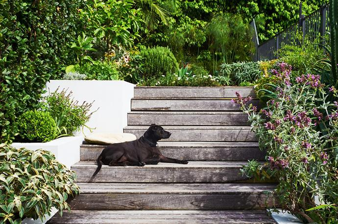 Tigga enjoys the sunny steps: the pink-flowering plant on the right is Canary Island sage (Salvia canariensis), the hedge on the left is Viburnum suspensum.