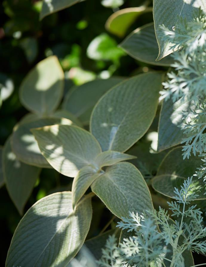 The silvery-green leaves of Strobilanthes gossypinus.