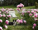 Pick your own flowers at Spring Hill Peony Farm, Victoria