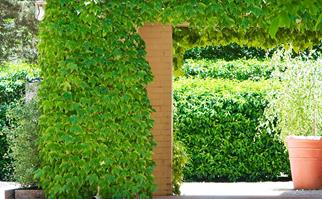 Boston ivy growing over a brick wall