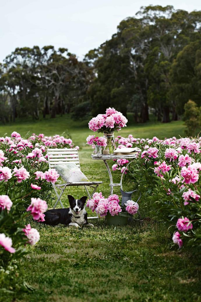 "China, the family's border collie loves to roam the peony paddocks. ""We put peonies in the house, a mix of colours and textures, and I adore them all,"" Nicky says. ""The season is short, but we've found so many people love peonies too… We didn't know that before!"""
