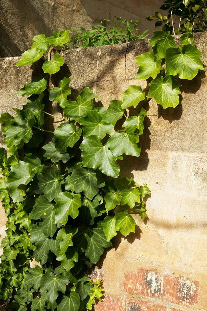 English ivy, also known as common ivy, can be extremely destructive if not kept in check.