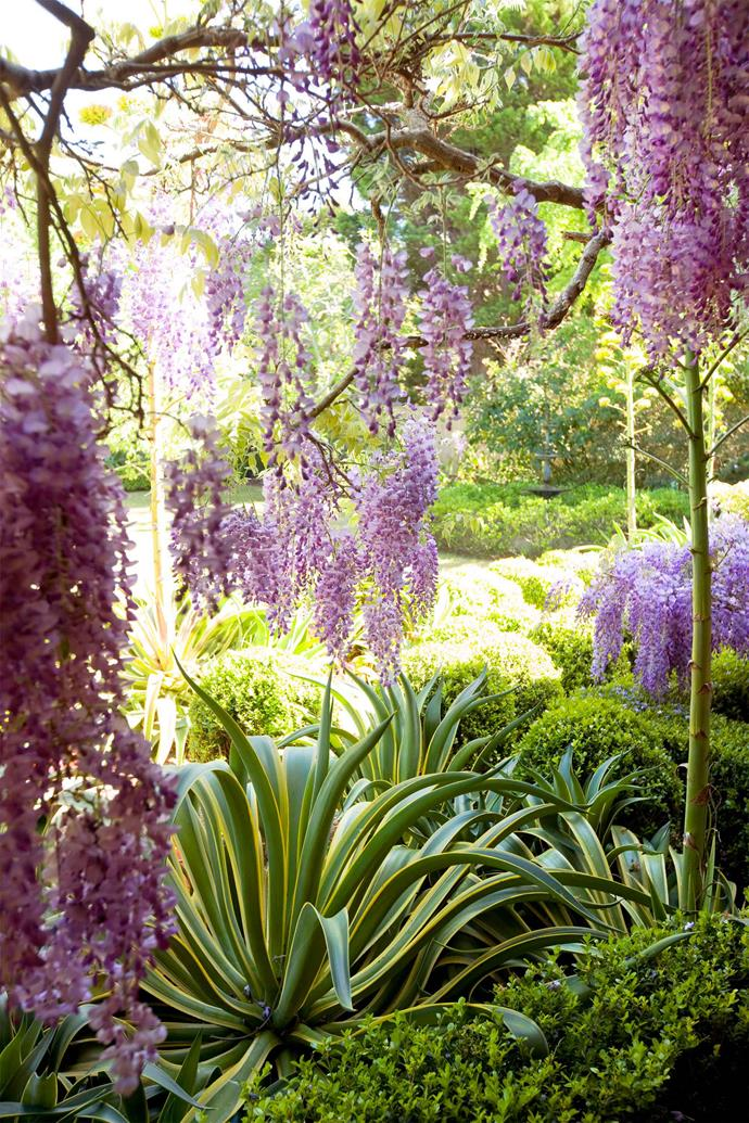 Wisteria plants can take up to 15 years to flower.