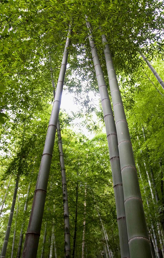 Some types of bamboo will soon become uncontrollable, warn experts.