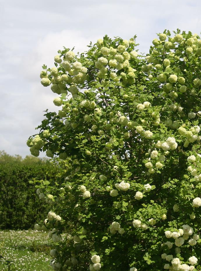Sweet viburnum *(Viburnum odoratissimum). Photo: Getty