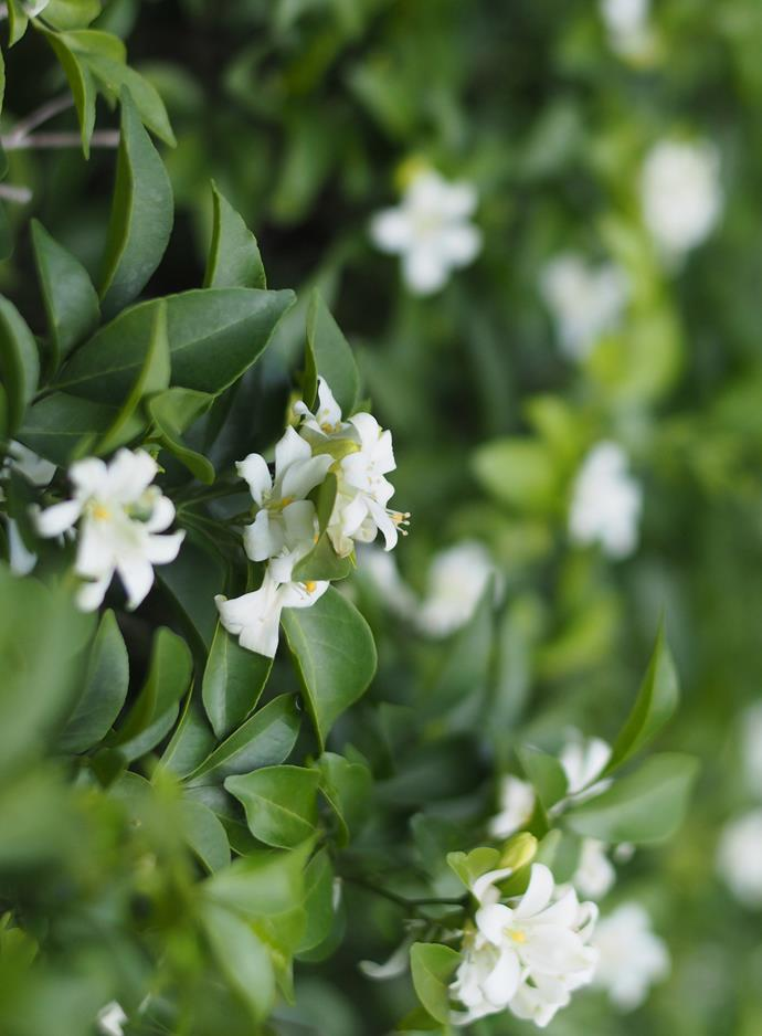 Murraya *(Murraya paniculata). Photo: Alamy*