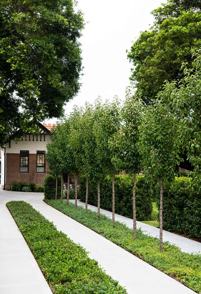**Front path** An avenue of pleached *Pyrus calleryana* 'Chanticleer' underplanted with Asiatic jasmine. The low hedge is *Syzygium austral* 'Pinnacle'.