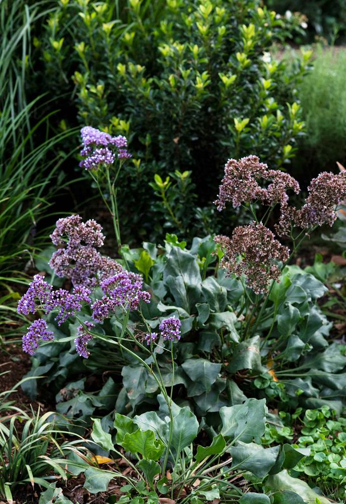 **Detail** Purple *Limonium perezii* partnered with pretty *Rhaphiolepis* 'Snow Maiden', *Liriope* 'Just Right' and *Dichondra repens*.