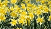 Plant guide: Jonquils