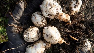 How to grow Jerusalem artichokes