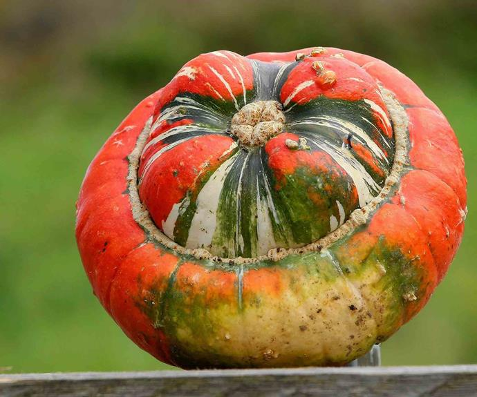 <p>**TURK'S TURBAN PUMPKIN**<P> <P>This interesting looking specimen is an heirloom variety grown more for aesthetics than dinner table glory but still it is great roasted or made into soup.<p>