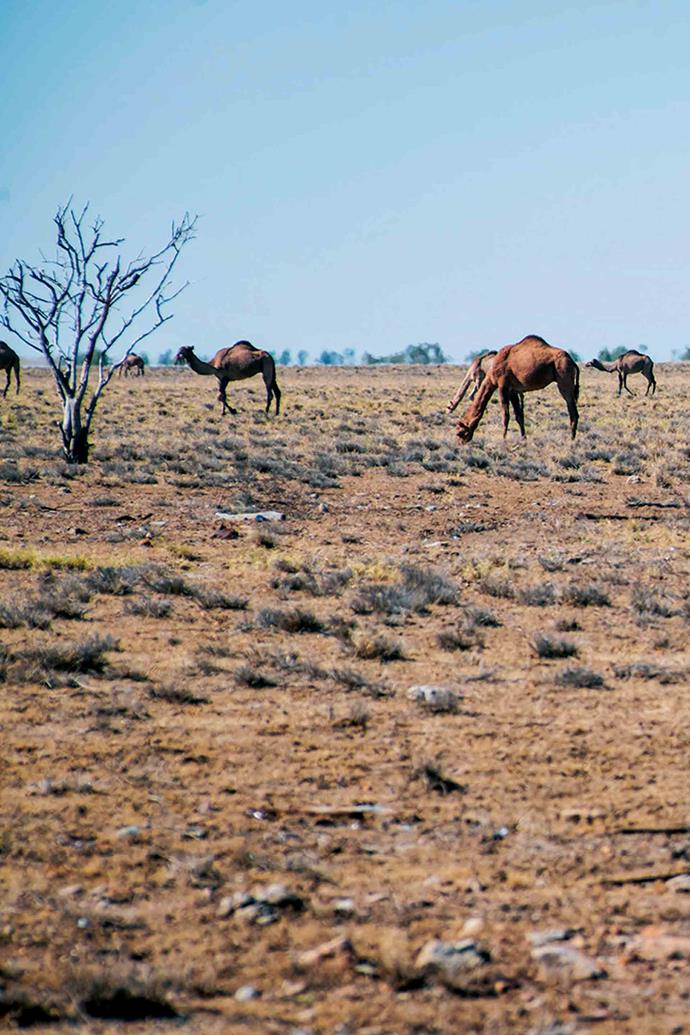 Camels graze along the road to Winton, where the annual camel races are held in July.