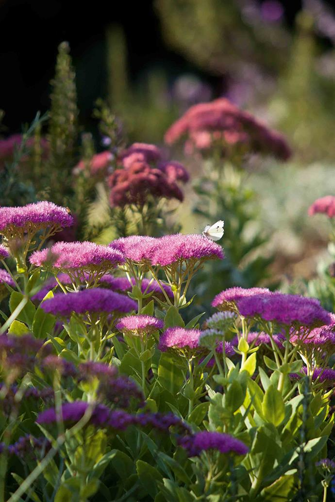 Sedums tolerate dry conditions. The foreground sedums are 'Autumn Joy', behind are 'Autumn Blush'.