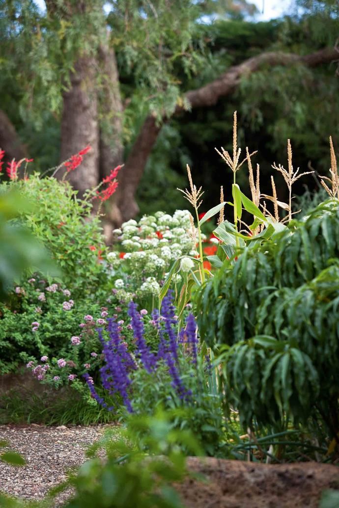 Sweetcorn in the vegetable garden is fringed by pink flowering oregano, the white blooms of garlic chives, and a red-blossoming variety of salvia (Salvia elegans).