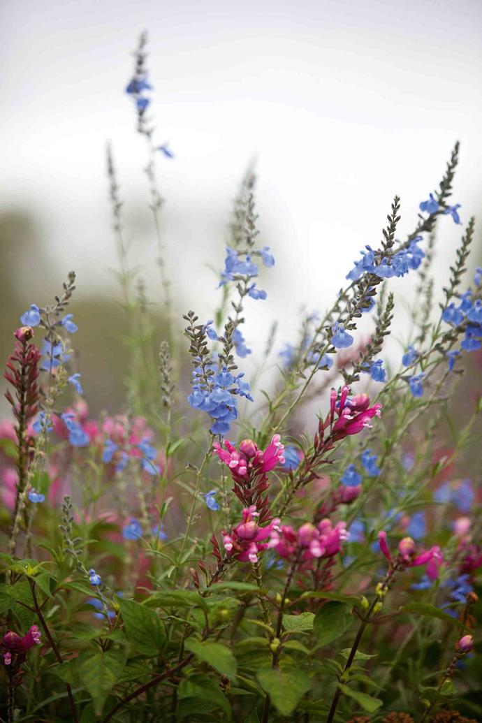 Blue sage (Salvia azurea) contrasts prettily with pink rose leaf sage.