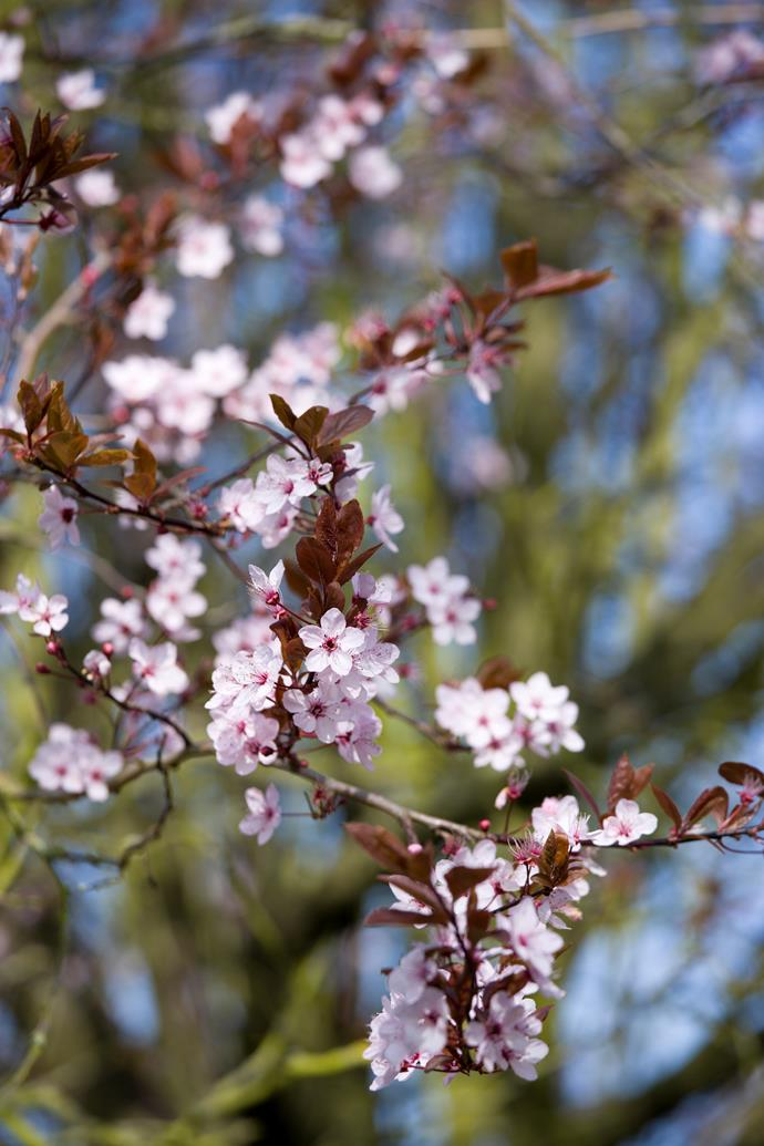 "**Prunus x Bilreana.** The [pink flowering plum](https://www.homestolove.com.au/plant-guide-cherry-and-plum-blossoms-9787|target=""_blank"") is a small deciduous tree with bronze new leaves and abundant large, bright pink, double flowers. It's an excellent blossom tree for small gardens. This flowering plum is only one of a host of ornamental blossom trees."