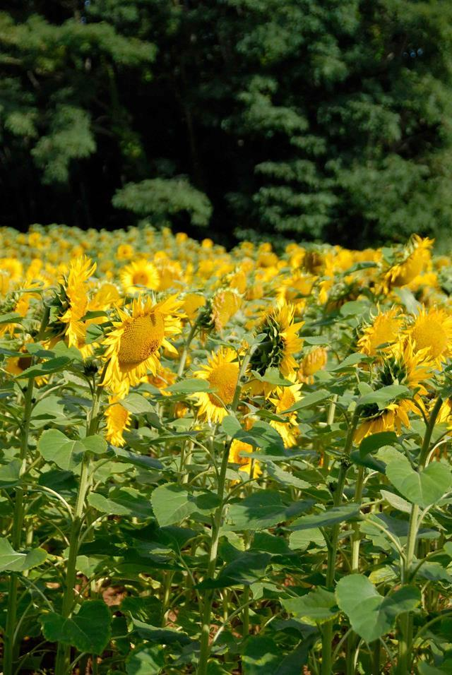 "**Sunflowers.**  [Sunflowers](http://www.homestolove.com.au/sunflowers-9804|target=""_blank"") are towering plants that can grow up to 3 metres tall. They're an [easy plant to grow](https://www.homestolove.com.au/sunflowers-9804