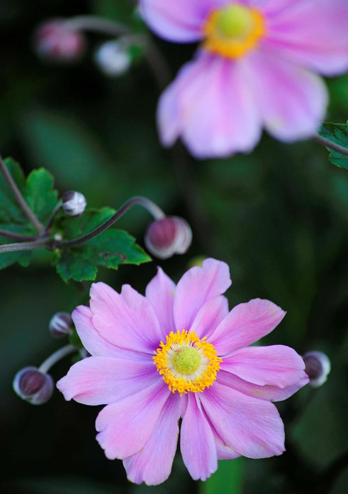 **Anemone.** This brightly coloured perennial plant is one of the most productive, hardy, and long-lasting spring bloomers. They have daisy-like flowers and bright colour centres. Plant the bulbs in autumn with the pointy end facing down.