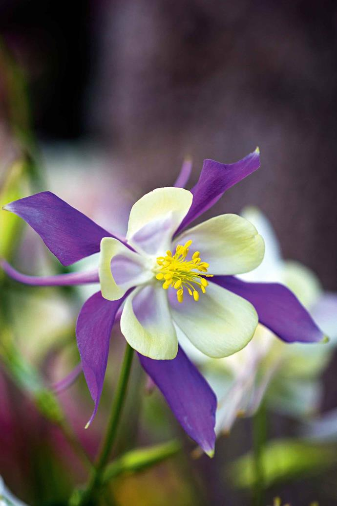 **Aquilegia.**  Aquilegia species are clump-forming herbaceous perennials known for the spurred petals of their flowers. They are best grown in semi-shade and they self-sow for more blooms next year.
