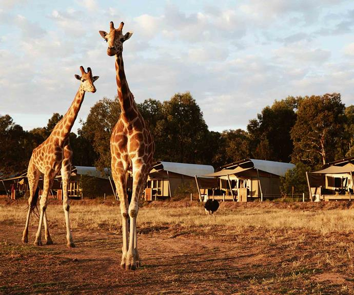 Wake up to wildlife at Taronga Western Plains Zoo.