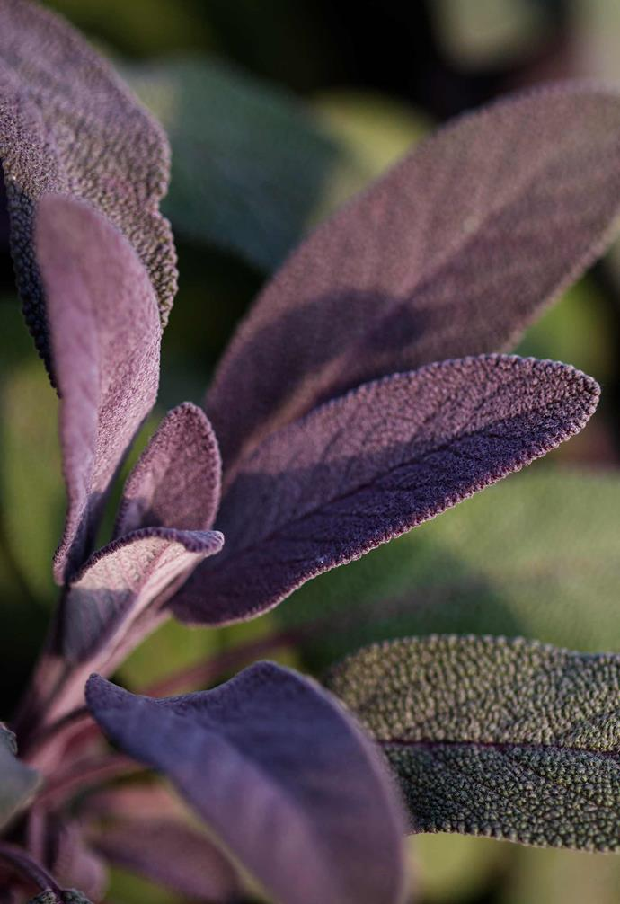 "**Common sage** *Salvia officinalis* 'Purpurascens'. <br><br>Long-lasting [herb](https://www.homestolove.com.au/10-easy-to-grow-herb-plants-3214|target=""_blank"") that tastes great. Regularly picking the new leaves keeps it a tidy bun shape. A lilac-purple dusts the immature foliage on this cultivar. Contrasts well with [silver/blue plants](https://www.homestolove.com.au/silver-plants-garden-20028