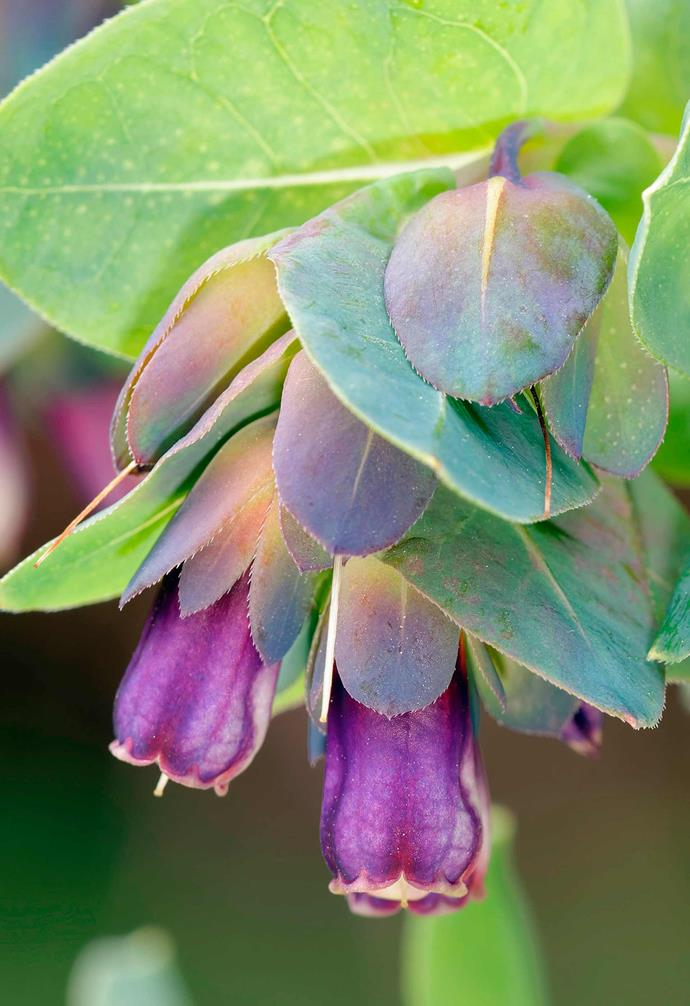 **Honeywort/blue shrimp plant** *Cerinthe major* 'Purpurascens'. <br><br>Unmissable in the garden, this plant will self-sow when growing in a sunny position in well-drained soil. Come winter, its long-lasting purple flowers are surrounded by purple leaves up the stem, which eventually transform into a silvery green.