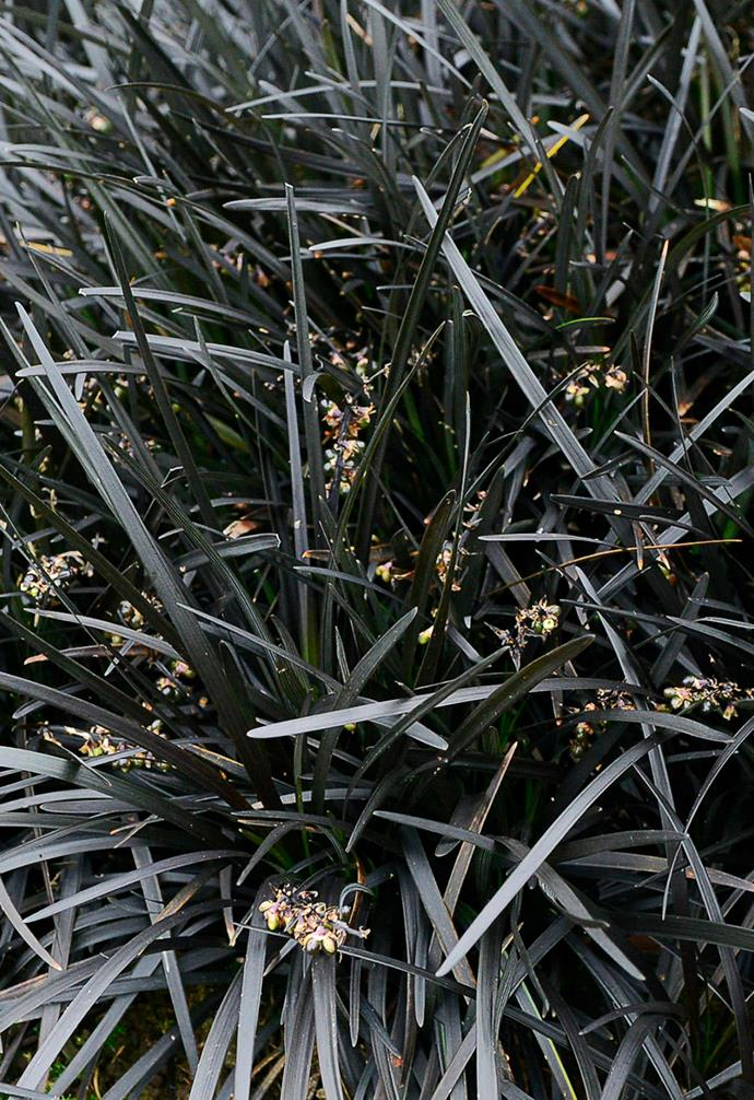 "**Black mondo grass** *Ophiopogon planiscapus* 'Nigrescens'. <br><br>Taking purple foliage to its darkest edge, this low, tufty, [grass-like plant](https://www.homestolove.com.au/ornamental-grasses-australia-19276|target=""_blank"") looks best planted in groups at the front of a bed. Lilac to pink flowers adorn it in summer. Its colour and textured leaf make it a fantastic contrast plant."