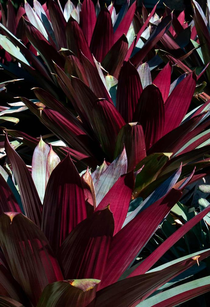 **Bromeliad** *Alcantarea imperialis* 'Rubra'. <br><br>Much loved for its large rosette of purple-toned leaves, which get darker in cooler temperatures and also with more sun exposure. A tough plant that looks good in pots or garden beds.