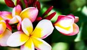 How to take a frangipani cutting in 3 easy steps