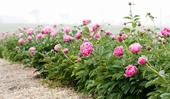 Step inside a dreamy field of peonies at a farm in Armidale