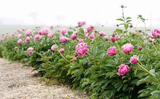 Row of flowering peony shrubs