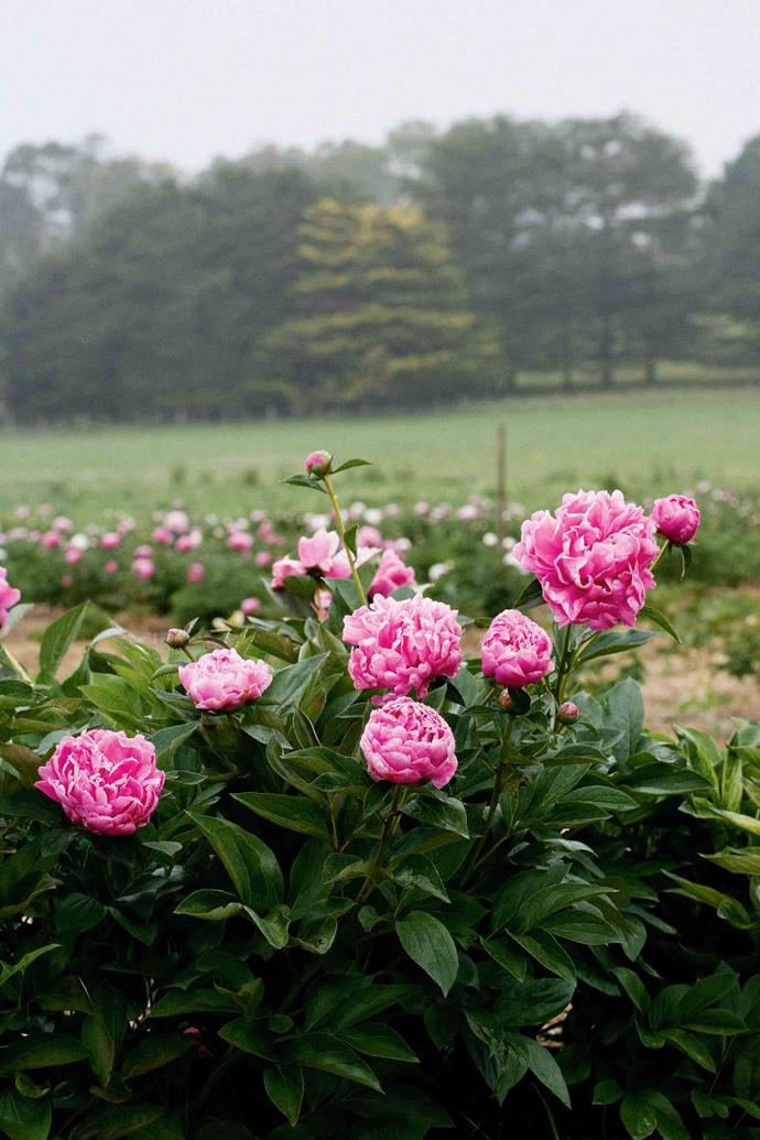 On the outskirts of Armidale, part of an orchard is now a peony farm.
