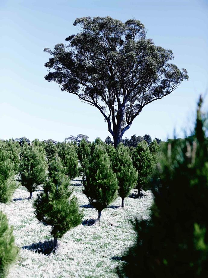 "The trees are heavily pruned in April. ""It shapes them into the lovely conical shape,"" Louisa says. ""We get the best of both worlds here,"" Louisa says. ""Where I grew up, it was much more isolated. Here we are so much more central in the region. The community in the Highlands and around Goulburn is well connected."""