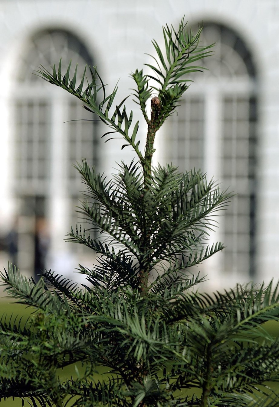 "**Wollemi pine ** (*Wollemia nobilis*): An attractive potted plant with stiff, olive-green foliage, [Wollemi pine trees](https://www.homestolove.com.au/wollemi-pine-9959|target=""_blank"") can survive for a long time in a pot. Fertilise in spring."