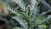 Wollemi pine: How to plant, grow and care for this Australian native