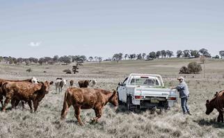 Farmer feeding cattle