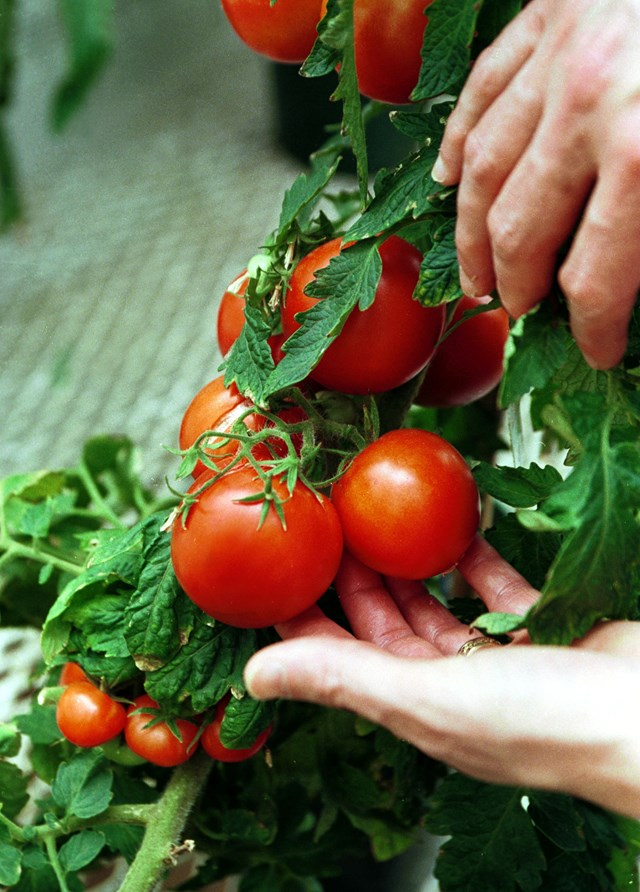 "[Tomatoes](https://www.homestolove.com.au/how-to-grow-tomatoes-in-summer-9453|target=""_blank"") don't like the cold so the best time to plant is during the spring."