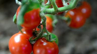 How to grow and care for tomatoes in summer