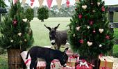 Celebrating Christmas on a miniature donkey farm