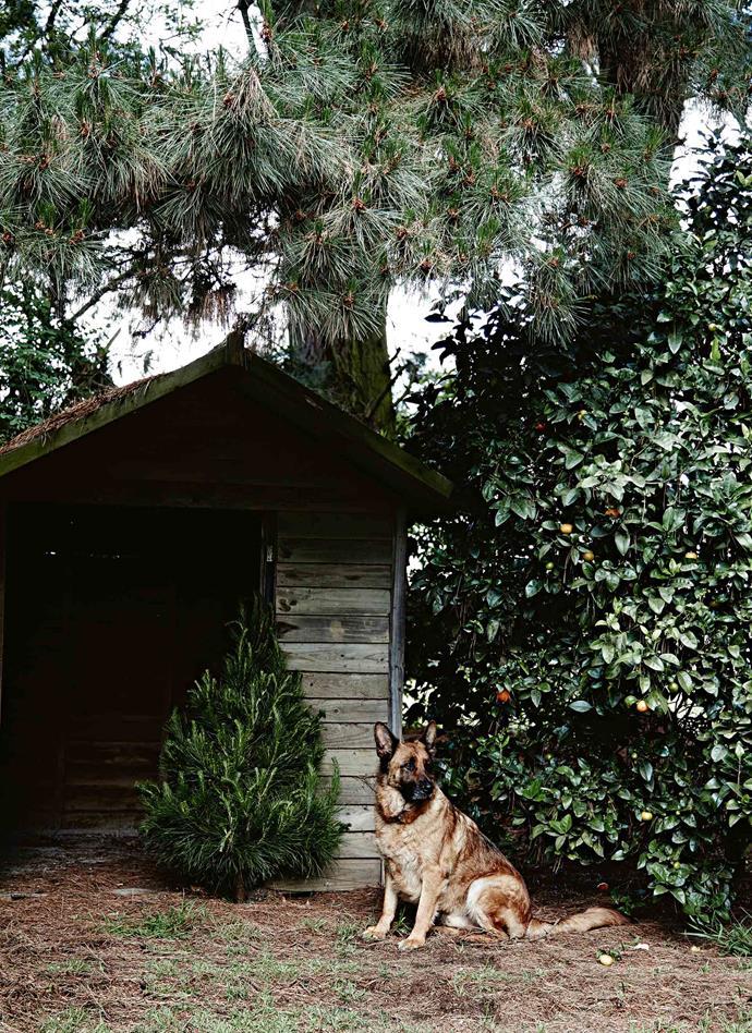 German shepherd Bundy guards the garden shed.