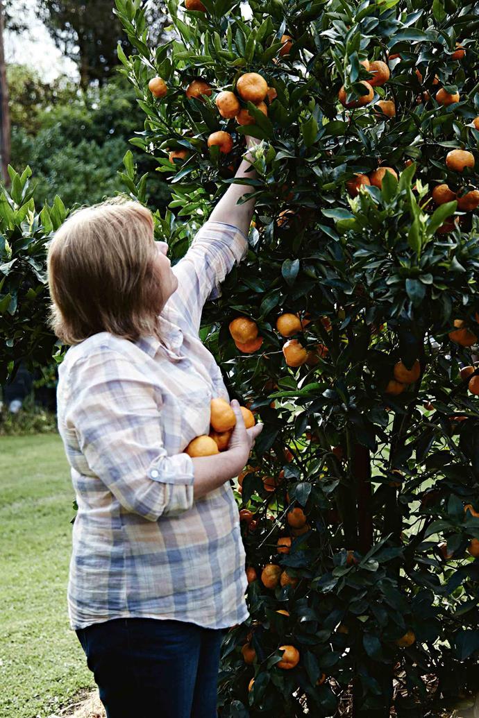 Andy picks mandarins in the garden.